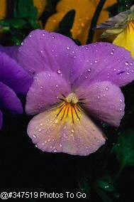 Violet with dewdrops